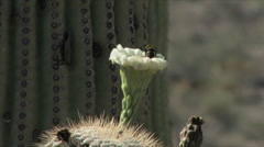 Saguaro Cactus Flower in bloom Stock Footage