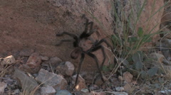a tarantula crawls up a rock at sunset in the Sonoran desert - stock footage