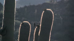 A Gila woodpecker lands on a backlit saguaro cactus in the Sonoran Desert Stock Footage
