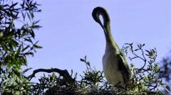 Australian Black-faced Cormorant (Phalacrocorax fuscescens) preening on nest. Stock Footage