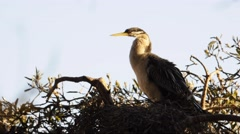 Black-faced Cormorant (Phalacrocorax fuscescens). Nesting. Stock Footage