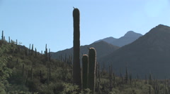 Morning view of backlit Saguaro cactus in the hills just outside of Tucson, AZ Stock Footage