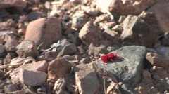 A red velvet mite crawls across the sonoran desert floor in early morning - stock footage