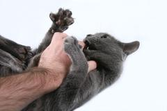 The grey cat aggressive bites the hand Stock Photos
