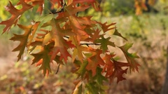 Fall Color Oak leaves on branches swaying on a breezy day autumn season 1080p - stock footage