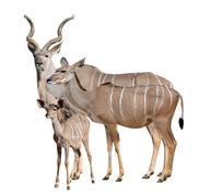 greater kudu - stock photo