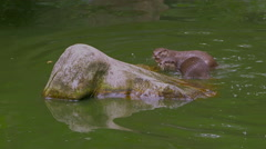 A pair of Oriental small-clawed otters (Aonyx cinereus) in the pond. Stock Footage