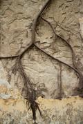 View of Colonial stucco wall with large creeper vine spanning the middle. Not - stock photo