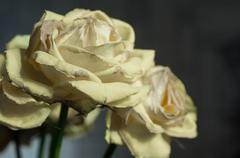 Lovely fading yellow rose close up - stock photo