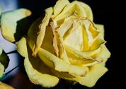 Stock Photo of Lovely fading yellow rose close up