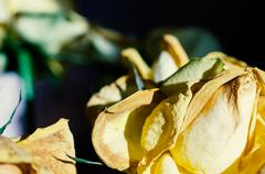 Lovely fading yellow rose close up Stock Photos