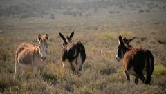 Death Valley Burros 08 Wild Donkey Stock Footage