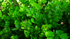Stock Video Footage of Celery (Apium graveolens) with wind, in early september sun