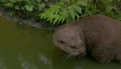Oriental small-clawed otter (Aonyx cinereus) explores the banks of the river. Stock Footage