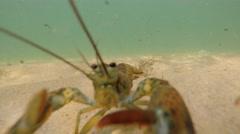 Big lobster in deffense on a sandy ocean floor bottom Stock Footage