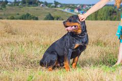 Rottweiler with mistress hand - stock photo