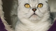 Cat ashen portrait, looking into the camera Stock Footage