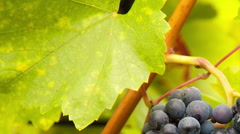 Slide motion of grapes of wine Stock Footage