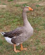one fat greylag goose  in the animal farm - stock photo