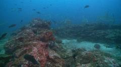 Big galapagos shark Stock Footage