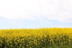 Yellow rapeseed field - stock photo