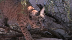 A bobcat stocks its prey in late afternoon in the Sonoran desert Stock Footage