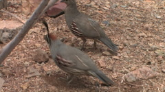 Gambel's Quail scratch the desert floor forging for food Stock Footage