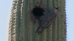 Gila Woodpecker on Saguaro cactus Stock Footage