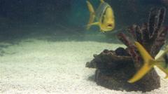 Scomber is a genus of ocean dwelling mackerels in family Scombridae Stock Footage