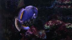 Clown triggerfish Stock Footage
