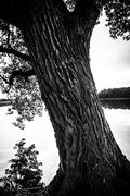 Old oak tree at pond Stock Photos