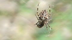 Spider on web-04 - stock footage