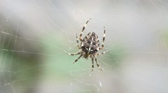 Spider on web-05 - stock footage
