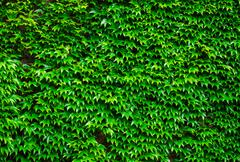 Stock Photo of Green ivy background