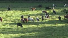 Herd of bullocks graze. Stock Footage