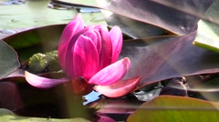 Waterlily.Leaves.Pond.Flower Stock Footage