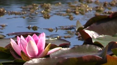 Waterlily. Leaves. Pond.Flower Stock Footage