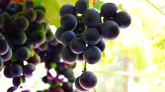 Red grapes on the vine, ready for harvest  Stock Footage