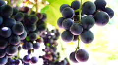 Red grapes on the vine, woodpecker and crows sound and sun Stock Footage