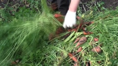 The woman breaks a tops of vegetable from carrots Stock Footage
