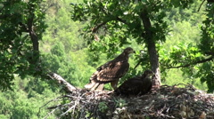 Imperial eagle feed chicks in the nest. Stock Footage