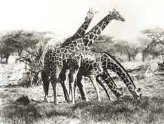 Giraffes out grazing Stock Photos
