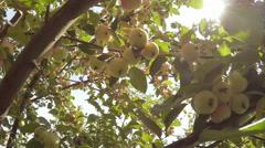 Apple tree full of green apples Stock Footage
