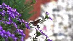 Hummingbird flies around flower Stock Footage