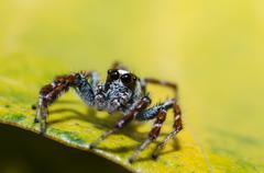 Jumpping spider on green leaf - stock photo
