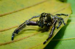 A male Heavy Jumper (Hyllus) - stock photo