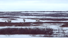 Caribou crossing frozen tundra.  Group halts on a ridge. Stock Footage