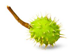 Green chestnut in the rind Stock Photos