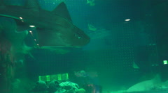Bowmouth guitarfish Swims In Green Water At Aquarium 02 Stock Footage