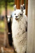 Domestic Llama Eating Hay Farm Livestock Animals Alpaca - stock photo